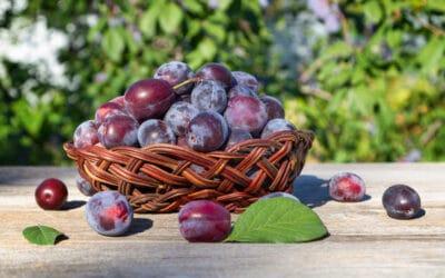 A szilva, az egyik legjobb vértisztító gyümölcs
